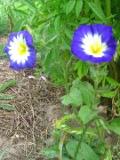 powoj trójbarwny, zdjęcia rośliny