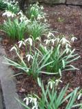 Ogrodnik-amator, opis rośliny, Przebiśnieg, śnieżyczka, Galanthus nivalis, uprawa przebiśniegów, przebiśniegi kwiaty