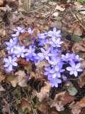 rośliny byliny , kwiaty wiosenne, przylaszczka, rośliny na wiosnę