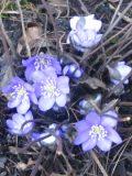 kwiaty byliny przylaszczka