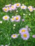 Ogrody, byliny, przymiotno ogrodowe