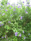 ogród ozdobny , rośliny egzotyczne, rośliny  na balkony i tarasy i fioletowe kwiaty