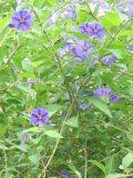 Ogrody, zdjęcia psianka, szafirowa burza kwiat