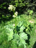 rabarbar ogrodowy, zdjęcia rośliny