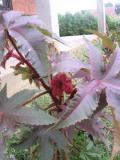 rącznik pospolity, zdjęcia rośliny