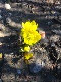 Ogrodnik-amator, opis rośliny, Rannik zimowy, Eranthis hyemalis, Winter aconite, uprawa ranników, opis rośliny, rośliny cebulowe, rośliny bulwiaste,  rośliny kwitnące wczesną wiosną