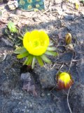 rannik zimowy, zdjęcia rośliny