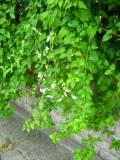 rdest auberta, zdjęcia rośliny