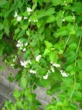 pnącza  ogrodowe, pnącza łatwe w uprawie, rdest auberta
