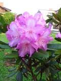 różanecznik, rododendron, fotografie roślin
