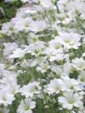rogownica kutnerowata, zdjęcia rośliny, litera r