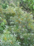 rokitnik pospolity, zdjęcia rośliny, galeria roślin, litera r