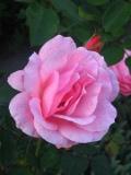 krzewy ogrodowe, krzewy trudne w uprawie, krzewy liściaste, róża