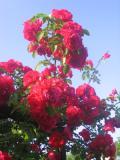 pnącza, róża pnąca, róże pnące, rośliny pnące