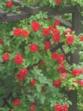 róża pnąca, zdjęcia roślin