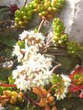 rozchodnik biały, zdjęcia rośliny