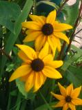 rudbekia, fotografie roślin