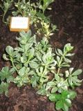 runianka, fotografie roślin