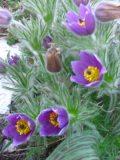 byliny wiosenne sasanka