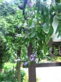 Ogrodnik-amator, opis rośliny, Scewola, Scaevola aemula, uprawa scewoli, opis rośliny, kwiat, Kwiaty jednoroczne uprawiane z rozsady, kwiaty w wielu kolorach, kwiaty letnie, kwiaty łatwe w uprawie, rośliny kwitnące latem, kwiaty na balkony i tarasy, kwiaty do skrzynek