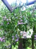 rośliny balkonowe, scewola