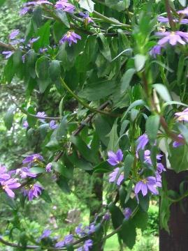 Ogrody, zdjęcia scewoli, scewola, w ogrodzie