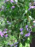 ogród ozdobny , rośliny egzotyczne, rośliny  na balkony i tarasy, scewola, niebieskie kwiaty,  różowe kwiaty,  fioletowe kwiaty