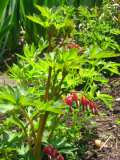 serduszka okazałe, galeria roślin ogrodowych