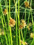 byliny, trawy ozdobne, sit rozpierzchły