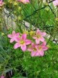 Ogrody, zdjęcia SKALNICA arendsa kwiat, skalnice  w  ogrodzie