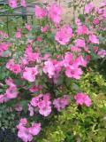 kwiaty ogrodowe, kwiaty łatwe w uprawie, kwiaty jednoroczne, ślazówka letnia