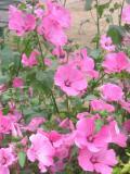 Ogrody, zdjęcia ŚLAZÓWKi letniej, ślazówka letnia, w ogrodzie