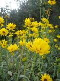 Ogrody, zdjęcia słoneczniczek szorstki, słoneczniczek w ogrodzie
