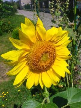 Ogrody, zdjęcia słonecznika, słonecznik zwyczajny w ogrodzie, kwiat