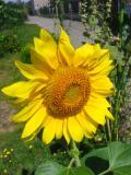 rośliny jednoroczne , słonecznik