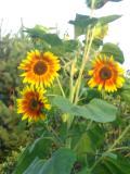 kwiaty trudniejsze w uprawie, kwiaty jednoroczne, słonecznik zwyczajny kwiaty do ogródka