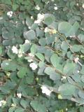 śnieguliczka, zdjęcia roślin