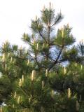 drzewa ogrodowe, drzewa łatwe w uprawie, drzewa iglaste, sosna czarna