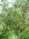 sosna himalajska zdjęcia roślin