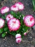 ogród ozdobny , rośliny kwiaty dwuletnie, stokrotka, stokrotki,  ogród ozdobny, rośliny  na zimę