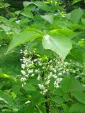 styrakowiec japoński, zdjęcia rośliny, galeria roślin