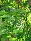 Ogrody, styrakowiec, niewiekiie drzewo, białe kwiaty, pachnące