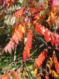 Ogrodnik-amator, opis rośliny, Sumak octowiec, Rhus typhina, uprawa sumaka octowca, sumak odurzający drzewo