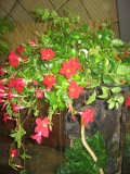ogród ozdobny , rośliny egzotyczne, rośliny  na balkony i tarasy i trąbkowate kwiaty