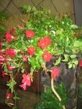 Ogrody, zdjęcia sundaville, sundaville w ogrodzie