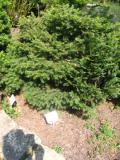 świerk gniazdowy, zdjęcia roślin