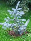 drzewa ogrodowe, drzewa łatwe w uprawie, drzewa iglaste, świerk kłujący