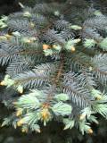 świerk kłujący, rośliny na literę k, byliny, galeria roślin zdjęcia roślin