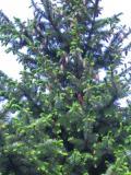 drzewa iglaste, świerk serbski