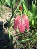 rośliny cebulowe, szachownica kostkowata